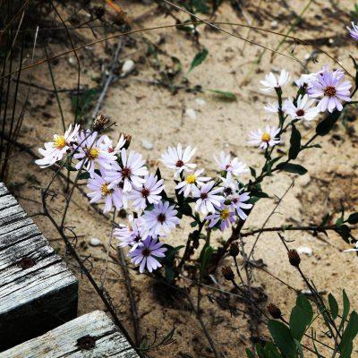 Beach Blossoms.